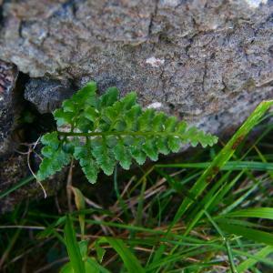 Photographie n°2247746 du taxon Asplenium adiantum-nigrum L.