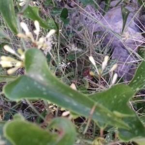 Photographie n°2247783 du taxon Smilax aspera L. [1753]