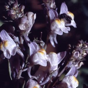 Photographie n°2248233 du taxon Linaria striata (Lam.) DC. [1805]