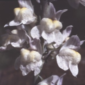 Photographie n°2248234 du taxon Linaria striata (Lam.) DC. [1805]