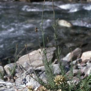 Photographie n°2248235 du taxon Linaria striata (Lam.) DC. [1805]
