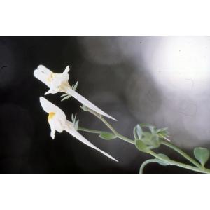 Linaria reflexa (L.) Desf. (Linaire à fruits recourbés)