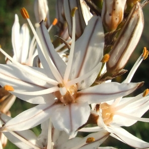 Photographie n°2248295 du taxon Asphodelus ramosus L. [1753]