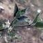 Liliane Roubaudi - Solanum chenopodioides Lam. [1794]