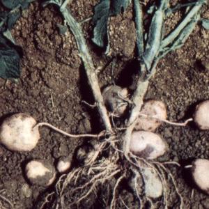 Photographie n°2248391 du taxon Solanum tuberosum L.