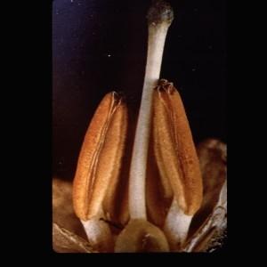 Photographie n°2248401 du taxon Solanum tuberosum L.