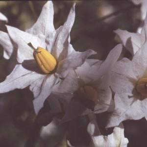 Photographie n°2248402 du taxon Solanum tuberosum L.