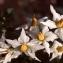 Liliane Roubaudi - Solanum tuberosum L.