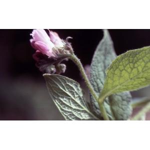 Symphytum peregrinum Ledeb. (Consoude voyageuse)