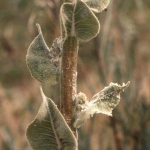 Photographie n°2248429 du taxon Verbascum floccosum Waldst. & Kit.