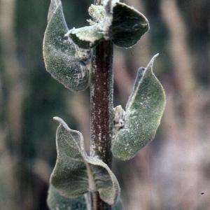 Photographie n°2248430 du taxon Verbascum floccosum Waldst. & Kit.