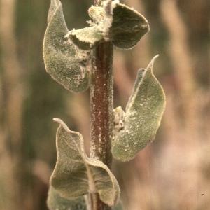 Photographie n°2248431 du taxon Verbascum floccosum Waldst. & Kit.
