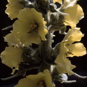 Photographie n°2248433 du taxon Verbascum floccosum Waldst. & Kit.