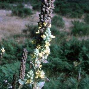Photographie n°2248455 du taxon Verbascum thapsus L.