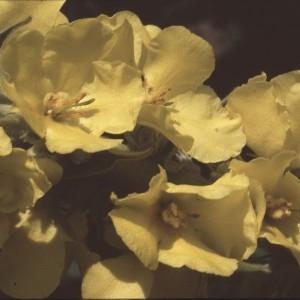 Photographie n°2248456 du taxon Verbascum thapsus L.