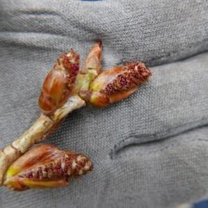 - Populus nigra var. italica Du Roi [1772]