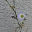 Erigeron annuus (L.) Desf. [nn24864] par Christine Jourdan le 10/10/2018 - Beaumont