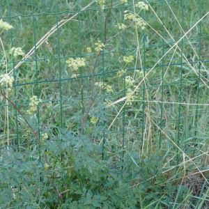 - Xanthoselinum alsaticum (L.) Schur