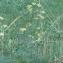 Xanthoselinum alsaticum (L.) Schur [nn73055] par Christine Jourdan le 10/10/2018 - Beaumont