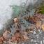Sonchus oleraceus L. [nn65205] par Christine Jourdan le 10/10/2018 - Aubière