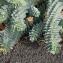 Euphorbia myrsinites sensu auct. [nn73559] par Christine Jourdan le 10/10/2018 - Beaumont