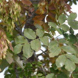 Photographie n°2248511 du taxon Fraxinus americana L.