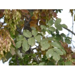 Fraxinus americana L. [1753] (Frêne blanc d'Amérique)