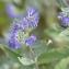 Caryopteris x clandonensis Hort. [nn120953] par Christine Jourdan le 10/10/2018 - Beaumont