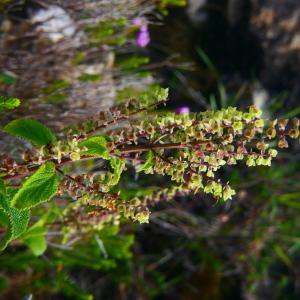 Photographie n°2248562 du taxon Teucrium scorodonia L.