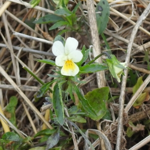 Photographie n°2248566 du taxon Viola arvensis Murray [1770]
