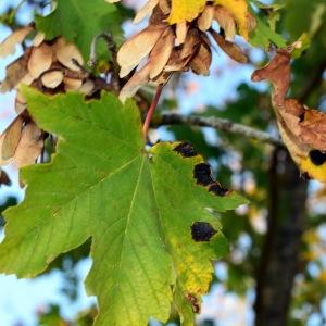 Photographie n°2248570 du taxon Acer pseudoplatanus L.
