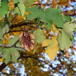 Photographie n°2248571 du taxon Acer pseudoplatanus L.