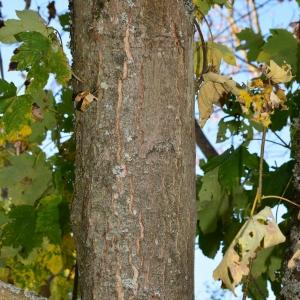 Photographie n°2248572 du taxon Acer pseudoplatanus L.