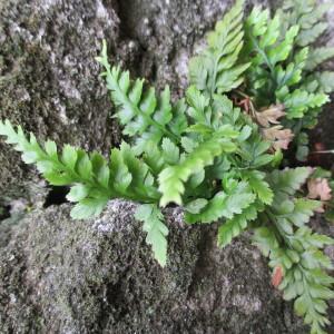 Photographie n°2248675 du taxon Asplenium adiantum-nigrum L.