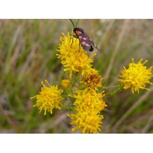 Galatella linosyris (L.) Rchb.f. var. linosyris (Aster à feuilles d'osyris)
