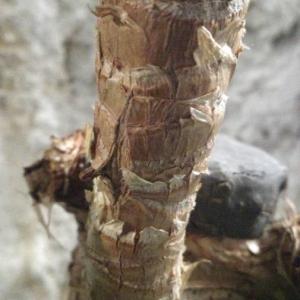 Photographie n°2249298 du taxon Yucca elephantipes Regel ex Trel. [1902]