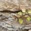 Cymbalaire des murailles [nn75081] par remparts.1@... le 02/10/2018 - Beaune