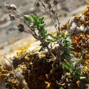 Photographie n°2249983 du taxon Spergula rubra (L.) D.Dietr. [1840]