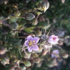 Photographie n°2249990 du taxon Spergula rubra (L.) D.Dietr. [1840]