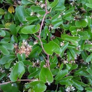 Photographie n°2250190 du taxon Smilax aspera L. [1753]