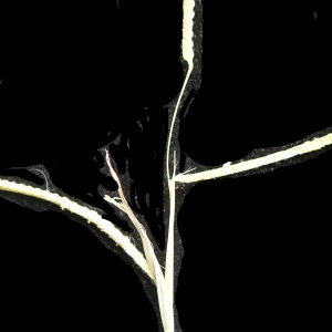 Photographie n°2250393 du taxon Echinochloa crus-galli (L.) P.Beauv.