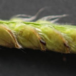 Photographie n°2250398 du taxon Echinochloa crus-galli (L.) P.Beauv. [1812]