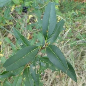 Photographie n°2250588 du taxon Ligustrum vulgare L. [1753]