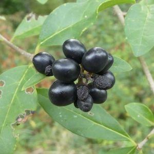 Photographie n°2250591 du taxon Ligustrum vulgare L. [1753]