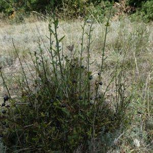 Photographie n°2250621 du taxon Jasminum fruticans L. [1753]