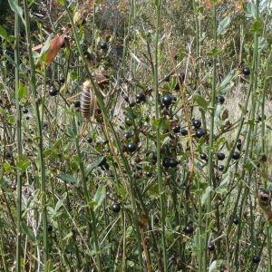 Photographie n°2250624 du taxon Jasminum fruticans L. [1753]