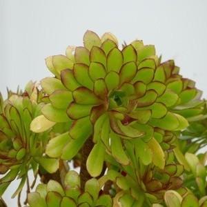 Photographie n°2250671 du taxon Crepis sancta (L.) Bornm. [1913]