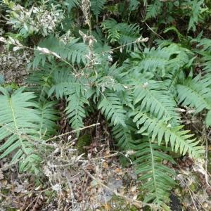 Photographie n°2250722 du taxon Polypodium L.
