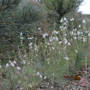 Photographie n°2250735 du taxon Linaria repens (L.) Mill. [1768]