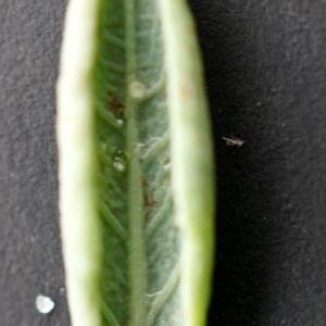 Photographie n°2250840 du taxon Polygonum maritimum L. [1753]